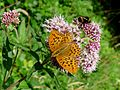 Silver-washed Fritillary and friend. - Flickr - gailhampshire.jpg