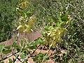 Singleleaf Ash Fraxinus anomala, Zion Canyon, Utah.jpg