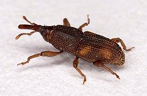 Le monde merveilleux des insectes - Page 2 290px-Sitophilus.oryzae.7438