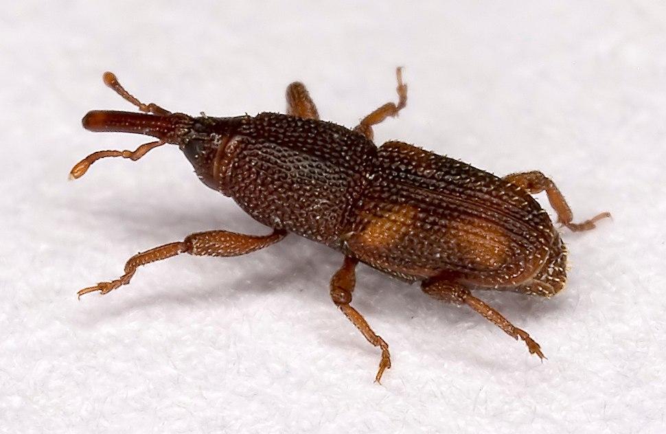 Sitophilus.oryzae.7438