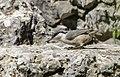 Sitta neumayer - Western Rock Nuthatch - Kaya sıvacısı 02.jpg