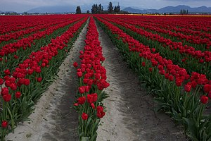 English: Skagit Valley Tulips