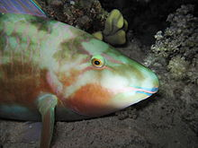Sleeping longnose parrotfish.JPG