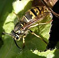 Sleepy Wasp (54756681).jpg