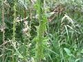 Slender thistle stem (5363151610).jpg