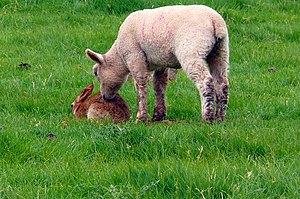 Animal communication - A lamb investigates a rabbit, an example of interspecific communication using body posture and olfaction.