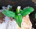 Snow trillium (Trillium nivale) (26086099940).jpg