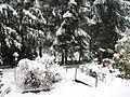 SnowstormOnEvergreens.JPG