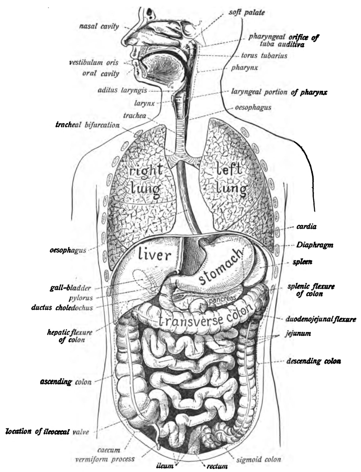 Anatomy of the gastrointestinal system