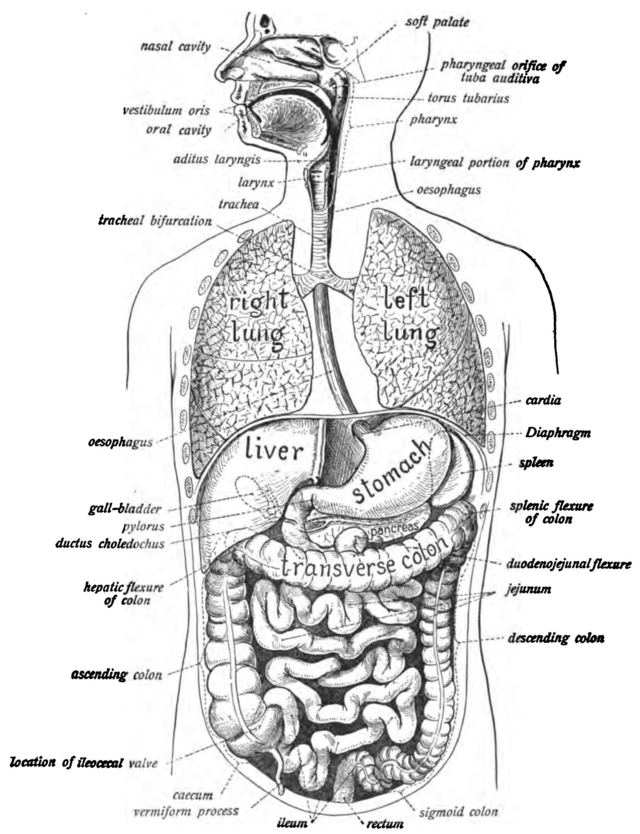 Human Digestive System Wikiwand
