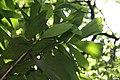 Socratea exorrhiza 18zz.jpg