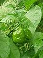 Solanales - Capsicum chinense - 6.jpg