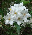 Solanum jasminoides (18740256788).jpg