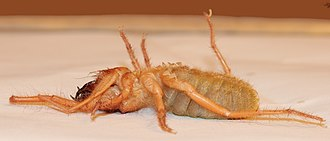 Solifugae - A female of a species in the family Solpugidae showing the malleoli beneath the posterior pair of legs