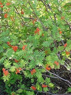 <i>Sorbus</i> genus of plants