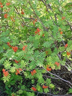 Sorbus - European rowan (Sorbus aucuparia) with fruit
