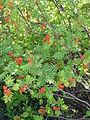 Sorbus aucuparia aka rowan.jpg