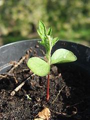 Vyklíčená dvojklíčnolistová rastlina (spodné sú klíčne listy, horné sú prvé asimilačné listy) - jarabina