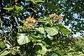 Sorbus latifolia kz03.jpg