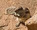 South African Ground Squirrel IMGP1654.jpg