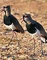 Southern Lapwings (Vanellus chilensis) calling ... - Flickr - berniedup.jpg