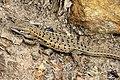 Spanish Psammodromus (Psammodromus hispanicus) (25093602397).jpg