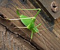 Speckled Bush Cricket female. Leptophyes punctatissima (35516715534).jpg