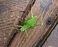 Speckled Bush Cricket female. Leptophyes punctatissima (35516719214).jpg