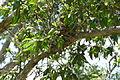 Sphecotheres vieilloti (6558910167).jpg