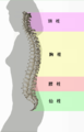 Spinal column curvature (japanese).png