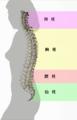 Spinal column curvature (japanese).png