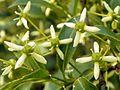 Spindle (Euonymus europaeus).jpg