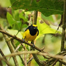 Spot-crowned Euphonia Euphonia imitans , male - Flickr - gailhampshire (2).jpg