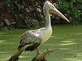 Spot Billed Pelican 3.jpg