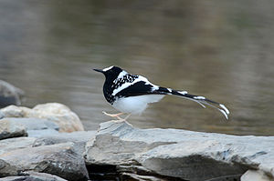 Spotted forktail - Spotted forktail in Pangot Uttarakhand