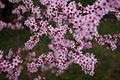 Spring-plum-tree-blossum - West Virginia - ForestWander.jpg