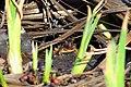 Spring Peepers in amplexus (26136821346).jpg