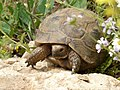 Spur-thighed Tortoise (6925398916).jpg