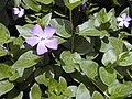 Starr-010419-0052-Vinca major-flowers-Kula-Maui (24423949842).jpg