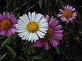 Starr-030419-0002-Erigeron karvinskianus-flower-Polipoli-Maui (24548561211).jpg
