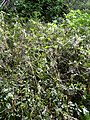 Starr-040410-0045-Bidens pilosa-habit-LaPerouse-Maui (24333459999).jpg