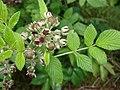 Starr-070621-7486-Rubus niveus-form a leaves flowers and immature fruit-Upper Kimo Dr Kula-Maui (24522302169).jpg