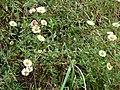 Starr-070908-9437-Erigeron karvinskianus-flowering habit-Polipoli-Maui (24893242345).jpg