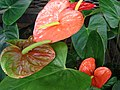 Starr-080103-1399-Anthurium andraeanum-flowering habit-Lowes Garden Center Kahului-Maui (24271579784).jpg