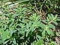 Starr-080531-4840-Euphorbia maculata-habit-Bravo barracks Sand Island-Midway Atoll (24910836005).jpg