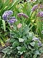 Starr-090421-6308-Limonium arborescens-flowering habit-Pukalani-Maui (24926157066).jpg