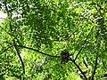 Starr-090623-1463-Adenanthera pavonina-canopy and seedpods-Nahiku-Maui (24336003524).jpg