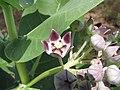 Starr-090813-4269-Calotropis procera-flowers-Kanaha Beach-Maui (24945838846).jpg