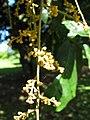Starr-091104-0818-Aglaia saltatorum-flowers-Kahanu Gardens NTBG Kaeleku Hana-Maui (24357056534).jpg