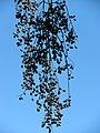 Starr-091104-0856-Cedrela serrata-fruit-Kahanu Gardens NTBG Kaeleku Hana-Maui (24869735572).jpg